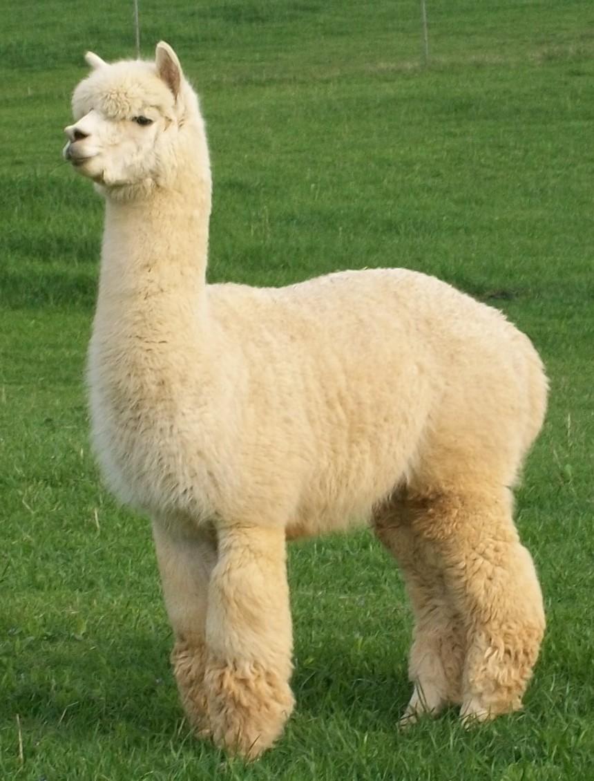 It S A Girl New Alpaca Cria